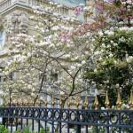 Medžių žiedai Paryžiuje
