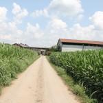 Kukurūzai aplink