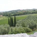 Kiparisai vynuogynuose