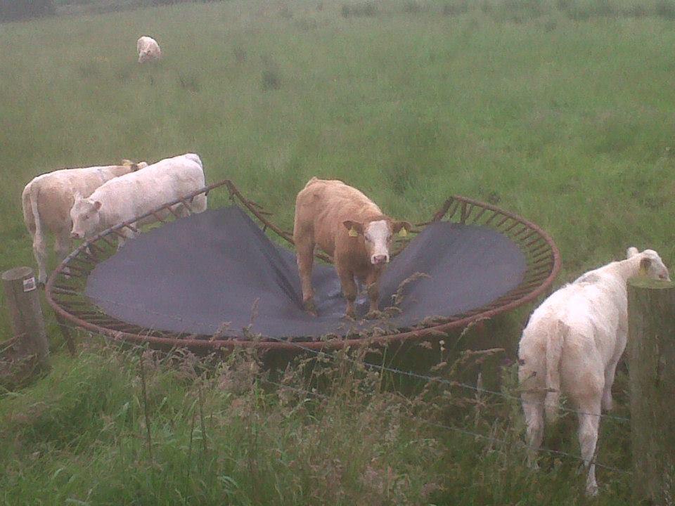 Karvės ant batuto.