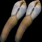 Du moliuskai