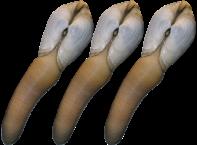Trys moliuskai